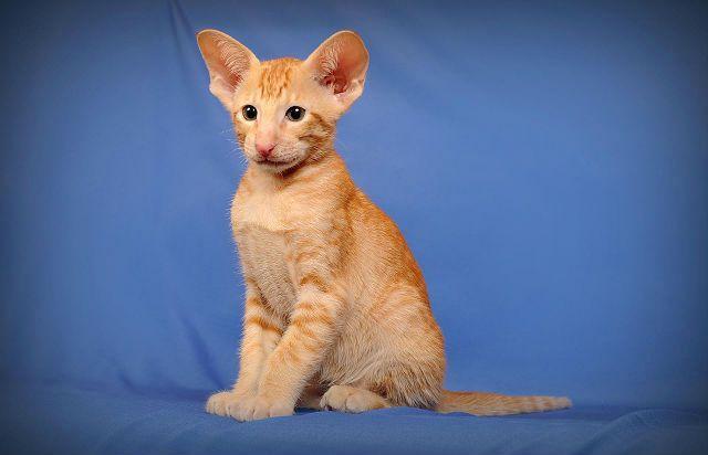 Ориентальная порода - рыжий котенок