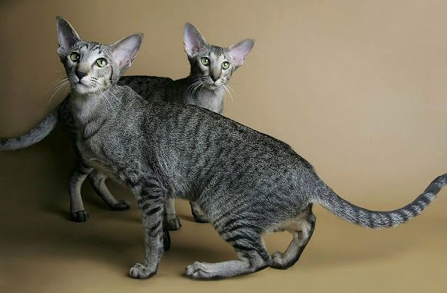 Серые ориентальные кошки