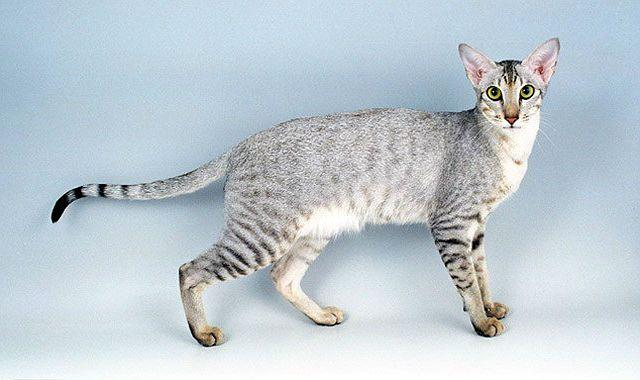 Ориентальная кошка - вид сбоку