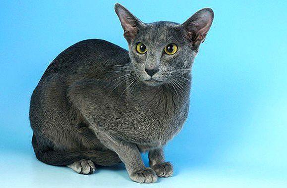Ориентальная кошка серебристая