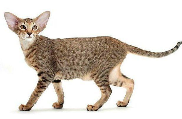 Ориентальная кошка пятнистая