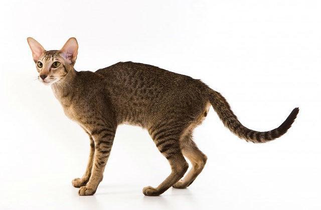 Ориентальная кошка с рыжим короткошерстная