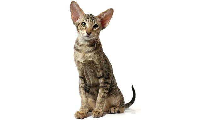 Ориентальная порода - выбор котенка