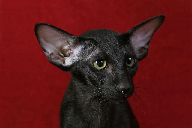 Ориентальная кошка - морда