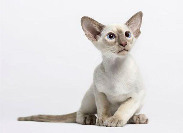 Ориентальная кошка - вид спереди
