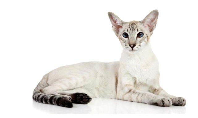Ориентальная кошка - экстерьер