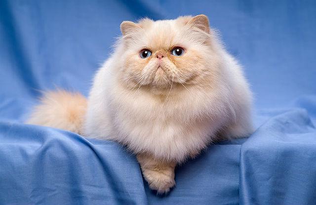 Персидская кошка - главное фото