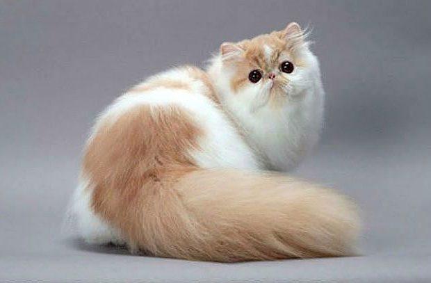 Персидская кошка - вид сзади