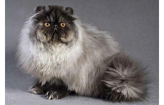 Порода кошки - персидская