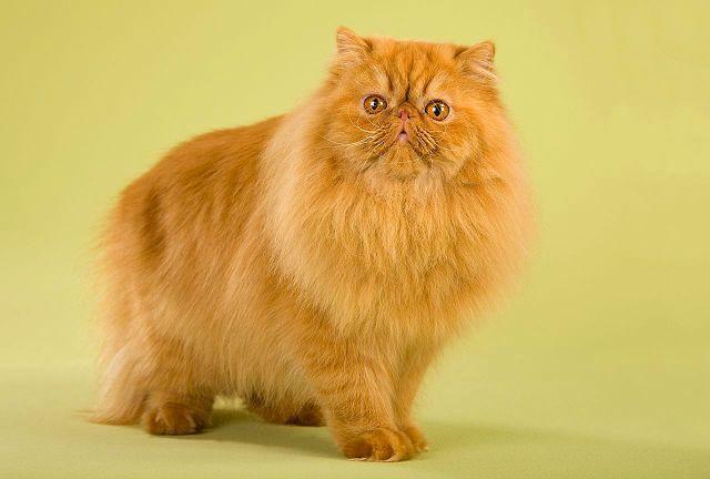 Персидская кошка - вид спереди
