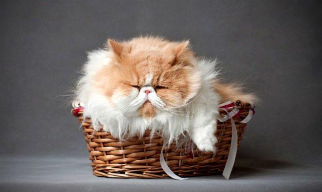 Персидская кошка в корзине