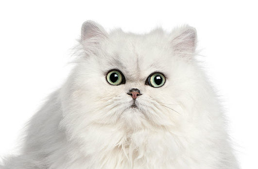 Персидская кошка - морда