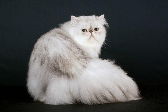 Персидская кошка с шикарной шубкой