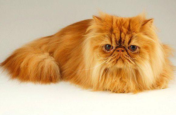 Персидская кошка рыжая