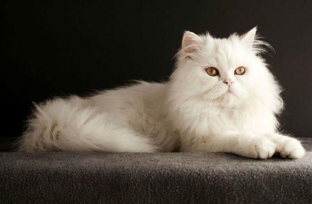 Белоснежная Персидская кошка
