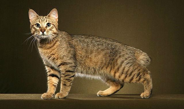 Кошка пикси-боб