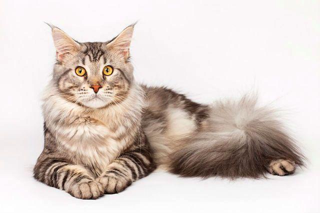 Порода кошек - мейн-кун