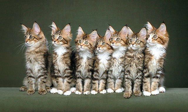 Порода мейн-кун - котята