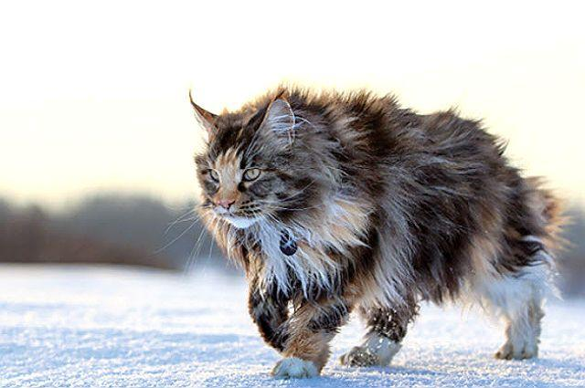 Мейн-кун гуляет по снегу