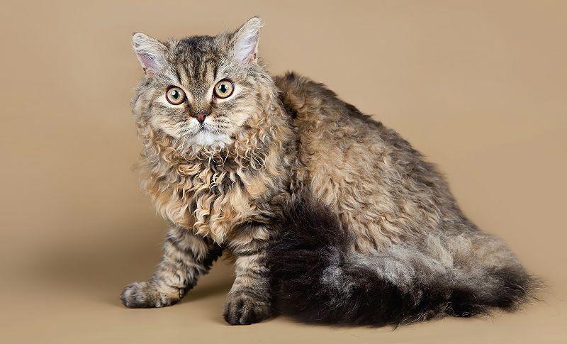 Кудрявая кошка - главное фото