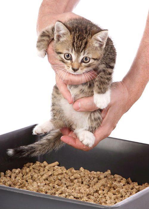 Котенок - правильное приучение к лотку
