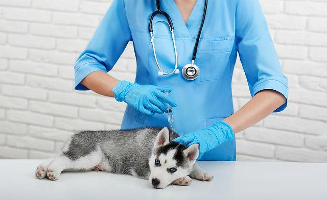 Прививка щенку лайки