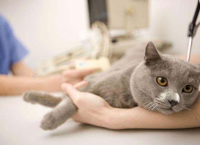 Кот-британце - процедура кастрации