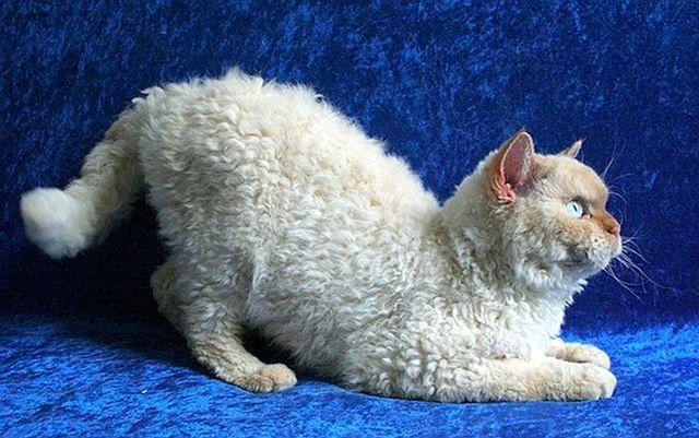 Пудель кэт - редкая порода кудрявых кошек