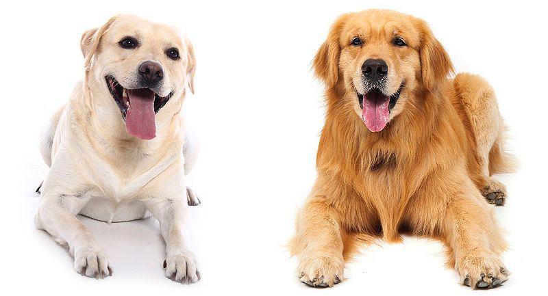Лабрадор и ретривер - разница в породах