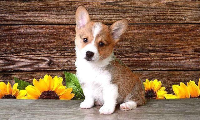 Выбор щенка породы вельш-корги