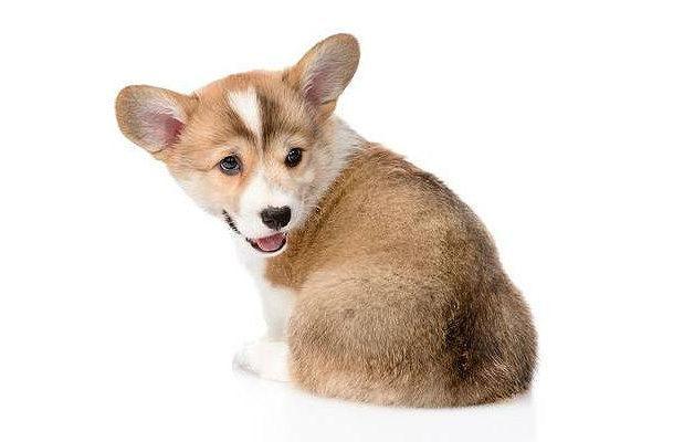 Куцехвостый щенок вельш-корги