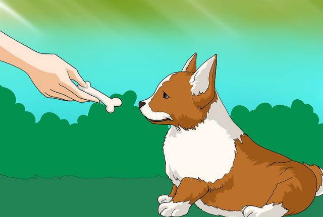 Вельш-корги - дрессировка щенка