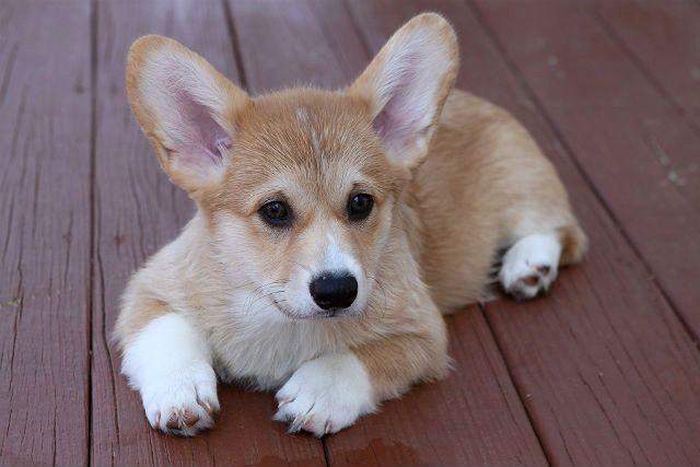 Щенок - порода собаки вельш-корги