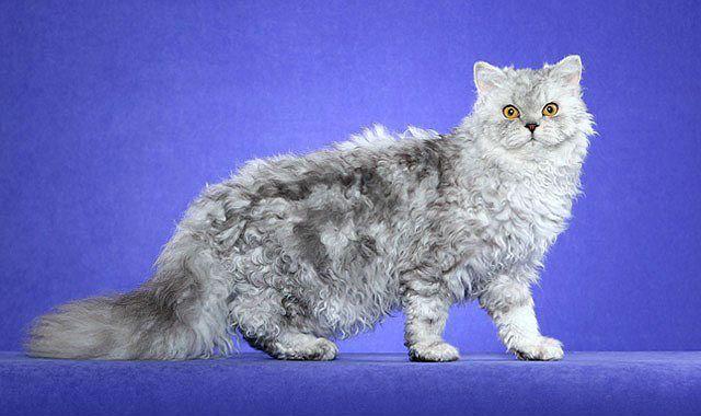 Кудрявая кошка - селкирк