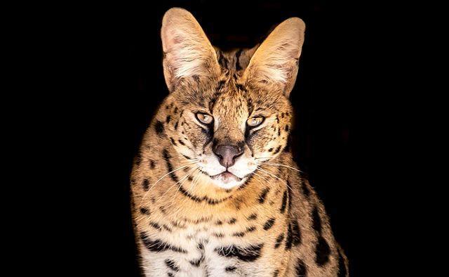 Кошка с большими ушами - сервал