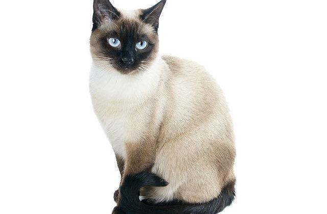 Кошка с большими ушами - сиамская