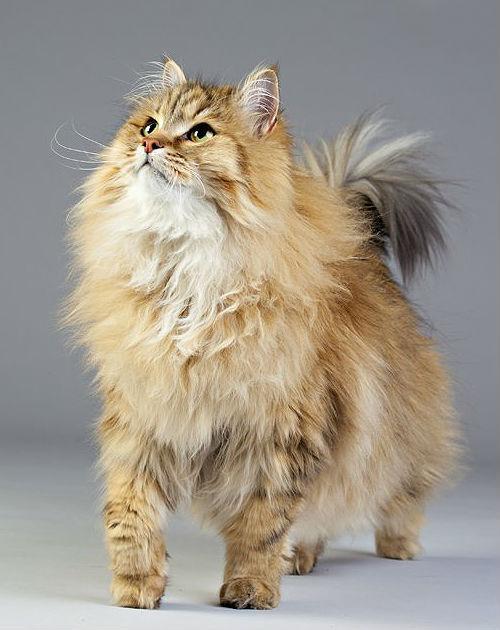 Рыжая сибирская кошка