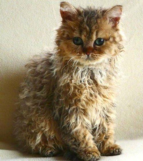 Кудрявый котенок - скукум
