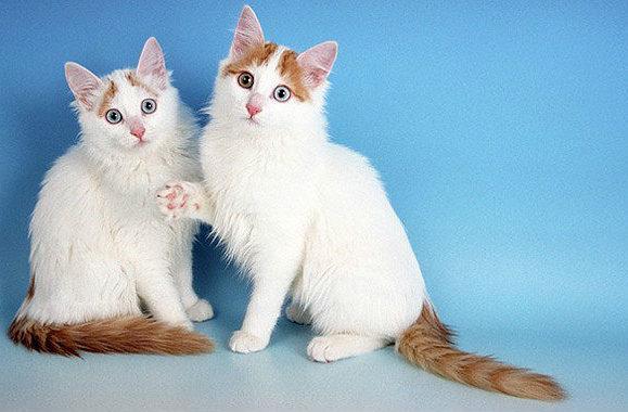 Рыжие кошки породы турецкий ван