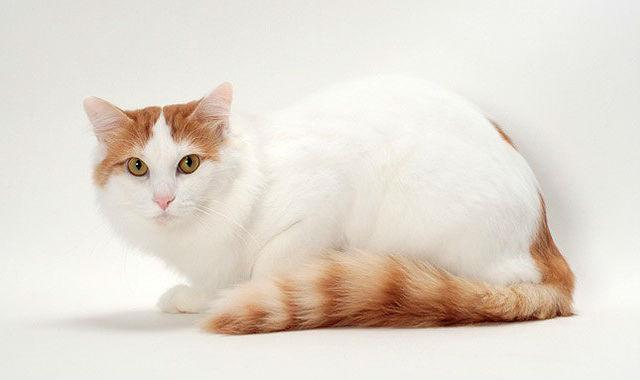 Рыжий кот турецкий ван