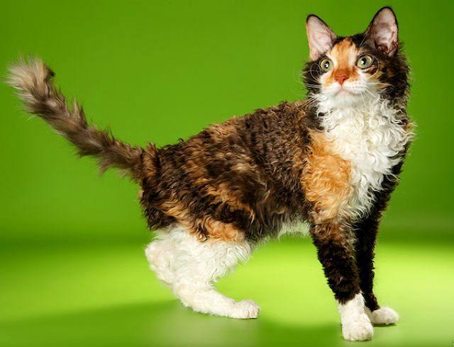 Кудрявая кошка - Уральский рекс