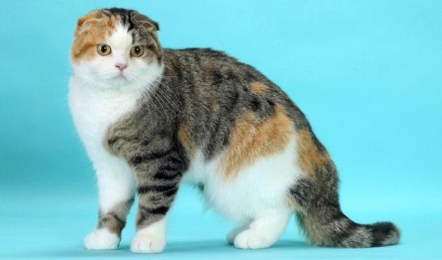 Шотландская порода - взрослая кошка