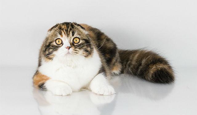 Шестимесячная шотландская кошка