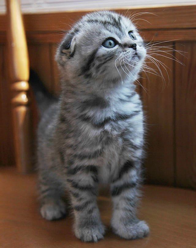 Вислоухий британец - котенок