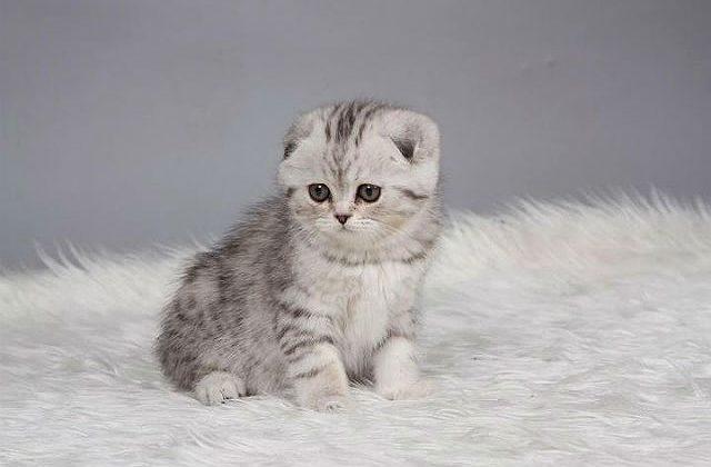 Котенок породы Вислоухий британец