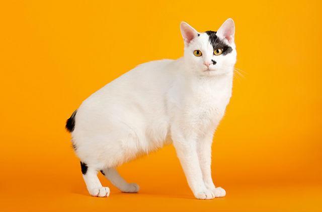Бесхвостая кошка - японский бобтейл
