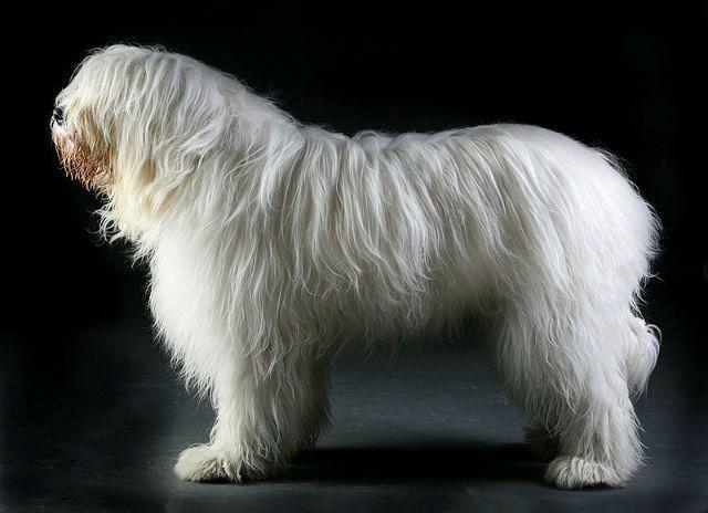 Южнорусская овчарка - главное фото