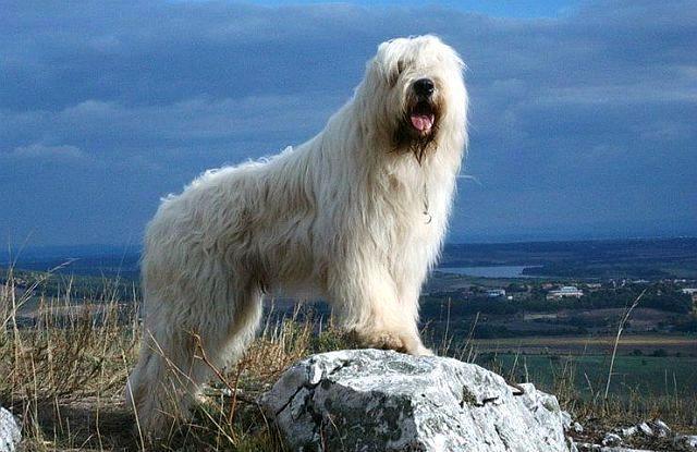 Собака породы Южнорусская овчарка