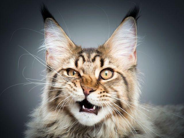 Кот мейн-кун - морда