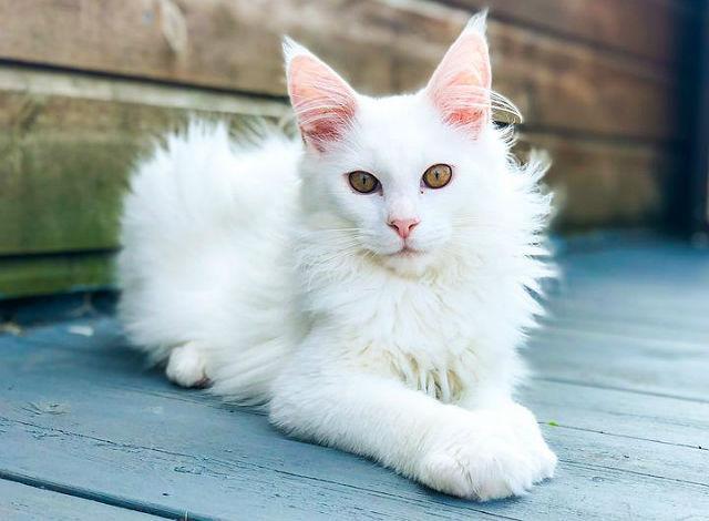 Мейн-кун белого окраса